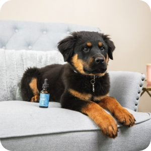 CBD For Dogs With Inflammation And Joint Pain
